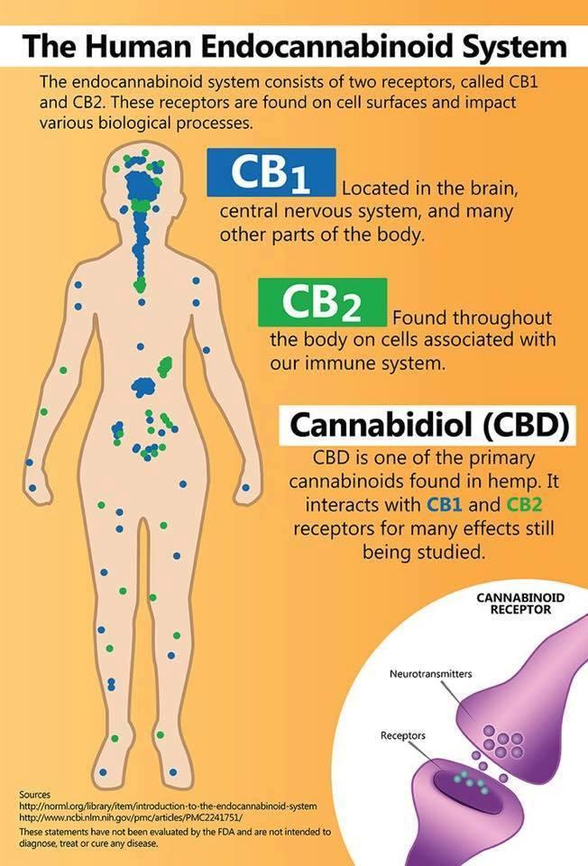 human endocannabinoid system hempworx